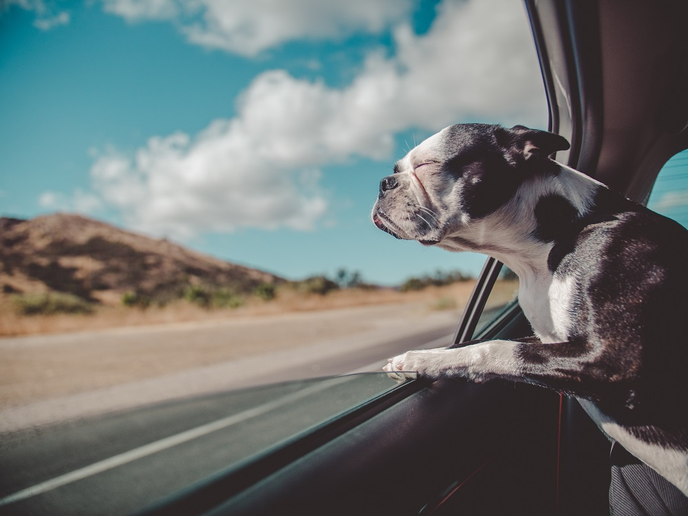 pes v autě